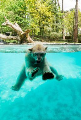 lodges zoo de la fleche ours polaire